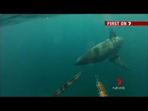 Great white shark bites surfer in half